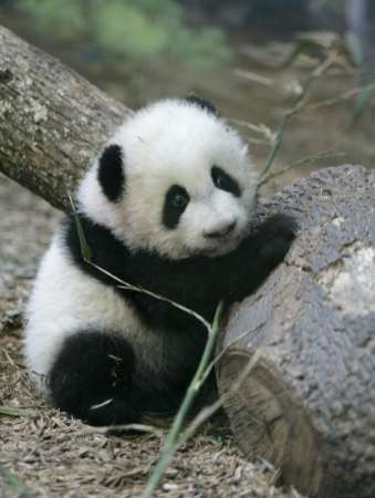 giantpandacub
